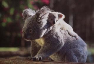Koala mit Jungtier